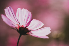 Cosmos flower vintage style. Cosmos flower colour vintage style stock photos