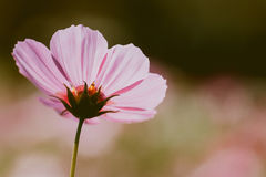 Cosmos flower vintage style. Cosmos flower colour vintage style stock image