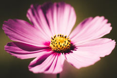 Cosmos flower vintage style. Cosmos flower colour vintage style stock photography
