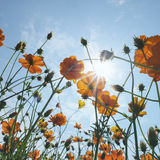 Cosmos Flower wallpaper_2. Royalty Free Stock Photo