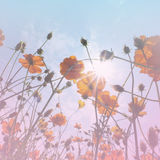 Cosmos Flower wallpaper_3. Royalty Free Stock Images