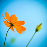Cosmos flower. Royalty Free Stock Photography