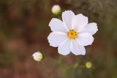 Cosmos-flowering gum stock photo