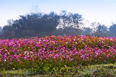 Cosmos flowers are blooming in winter. Colorful cosmos flowers planted in a large fields on the hill. cosmos flowers are blooming in winter stock images