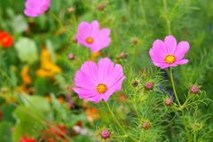 Cosmos flowers. Cosmos bipinnatus; also known as Mexican aster royalty free stock photography