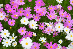 Cosmos flowers. Colorful cosmos flowers in green grass. Photo in Tibet, China Royalty Free Stock Images