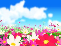 Cosmos flowers. Field of pink cosmos flowers Royalty Free Stock Photo