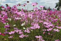 Free Cosmos Flowers Stock Photos - 14792393