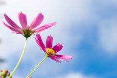 Cosmos flowers Stock Image