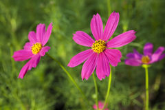 Cosmos Flowers Royalty Free Stock Images