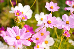 Cosmos flowers. In bloom at garden Royalty Free Stock Photos
