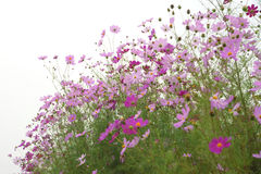 Cosmos flowers Stock Photo