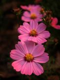 cosmos flowers Stock Photography