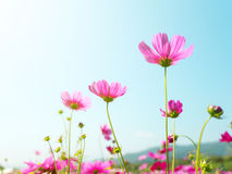 Cosmos flowers against the bright blue sky Royalty Free Stock Photography