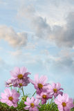 Cosmos flowers against a sky Royalty Free Stock Photography