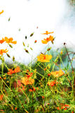 Cosmos Flowers Art Wall . Royalty Free Stock Photos
