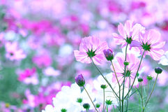 Cosmos flowers. In an autumn garden Royalty Free Stock Images