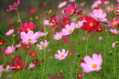 Cosmos flowers. In autumn, the garden cosmos bloomed beautifully Royalty Free Stock Photography