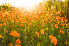 Cosmos flowers. In the autumn morning Royalty Free Stock Photos