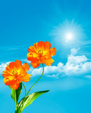 Cosmos flowers on a background of blue sky with clouds. Yellow flowers Stock Photography