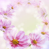 Cosmos flowers background. Royalty Free Stock Photos
