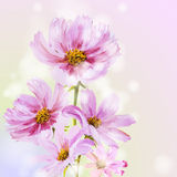 Cosmos flowers background. Royalty Free Stock Photography