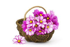 Cosmos flowers in a basket Stock Photo
