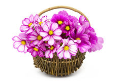 Cosmos flowers in a basket Stock Photos
