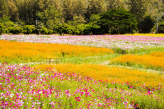 Cosmos Flowers. The Beautiful Cosmos Flowers field Stock Photos