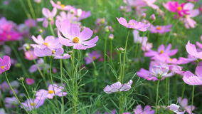 Cosmos flowers stock footage