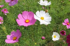 Cosmos flowers Royalty Free Stock Photography