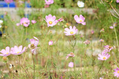 Cosmos flowers. Beautiful Cosmos Surrounded by grass But still pretty Thrill Stock Images