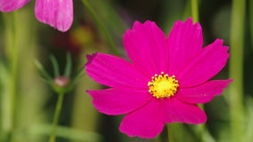 Cosmos flowers and bee stock video