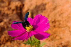 Cosmos flowers and bee Royalty Free Stock Photo