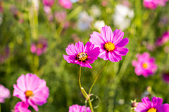 Cosmos flowers and bee Royalty Free Stock Images