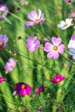 Cosmos flowers blooming in the field. stock photos