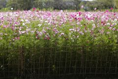 Cosmos flowers Field. Stock Images