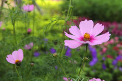 Cosmos flowers blooming in the garden Royalty Free Stock Image