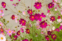 Cosmos flowers blooming in the garden Stock Photography