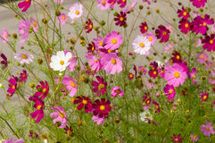Cosmos flowers blooming in the garden Royalty Free Stock Photography