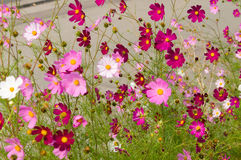 Cosmos flowers blooming in the garden Royalty Free Stock Images