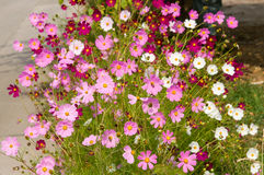 Cosmos flowers blooming in the garden Stock Image