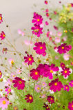 Cosmos flowers blooming in the garden Royalty Free Stock Photo