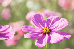 Cosmos flowers. Blooming in nature stock photos