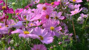 Cosmos flowers. Blooming at the park in Can Tho city, Vietnam stock video footage