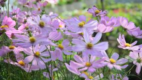 Cosmos flowers. Blooming at the park. Closed up. HD Video 1080p stock video