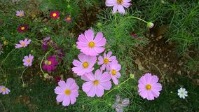 Cosmos Flowers. Blooming at the park in Nanning, China. Nanning's warm climate gives it a large amount of biodiversity stock footage