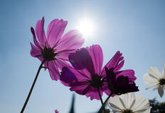 Cosmos flowers in blooming with sunset. Pic of Cosmos flowers in blooming with sunset Stock Photo