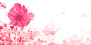 Cosmos flowers in blooming Royalty Free Stock Photos