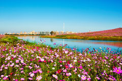 The cosmos flowers and blue lake water Royalty Free Stock Photo